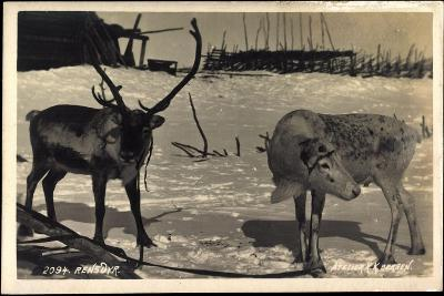 Rentier, Rentier in Eisiger Kälte, Rensdyr, Hirschgeweih--Giclee Print