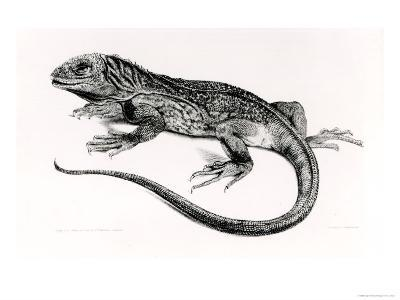 Reptile, Illustration from The Zoology of the Voyage of H.M.S Beagle, c.1832-36--Giclee Print