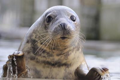 Rescued Grey Seal Pup (Halichoerus Grypus)-Nick Upton-Photographic Print