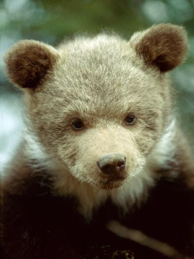 Rescued Grizzly Bear Cub, Montana, USA-Jim Zuckerman-Photographic Print