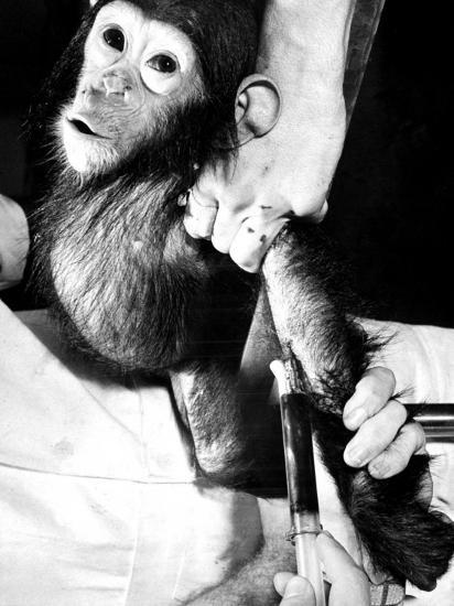 Researchers Testing Immunity of a Chimp That Was Inoculated with Polio Vaccine--Photographic Print