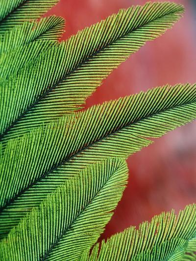 Resplendent Quetzal Feathers, Pharomachrus Mocinno, Costa Rica-Frans Lanting-Photographic Print