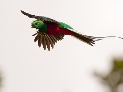 Resplendent Quetzal in Flight, Costa Rica-Cathy & Gordon Illg-Photographic Print