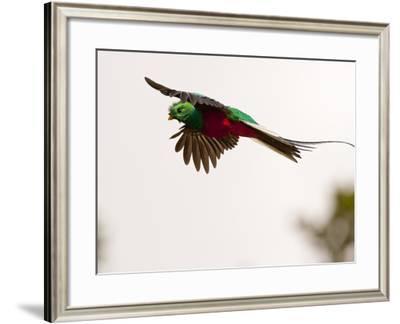 Resplendent Quetzal in Flight, Costa Rica-Cathy & Gordon Illg-Framed Photographic Print
