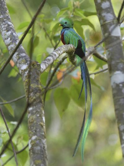 Resplendent Quetzal Male (Pharomachrus Mocinno), Cierro La Muerte, Costa Rica-Thomas Marent-Photographic Print