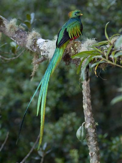 Resplendent Quetzal, Pharomachrus Mocinno, Bird Perched in a Tree-Roy Toft-Photographic Print