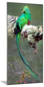 Resplendent Quetzal (Pharomachrus Mocinno), Savegre, Costa Rica