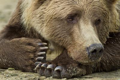 Resting Brown Bear, Katmai National Park, Alaska--Photographic Print