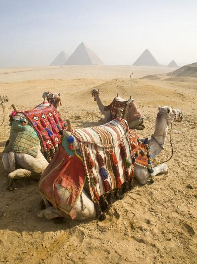 Resting Camels Gaze Across the Desert Sands of Giza, Cairo, Egypt-Dave Bartruff-Photographic Print