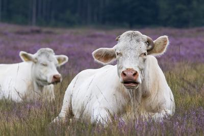 Resting Cow in Heather-Ivonnewierink-Photographic Print