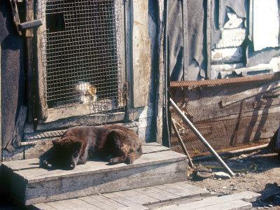 Resting Dog in Yanrakinnot, Providenia District-Daisy Gilardini-Photographic Print