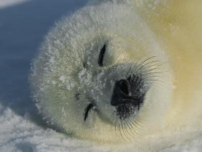 Resting Gray Seal Pup-Norbert Rosing-Photographic Print