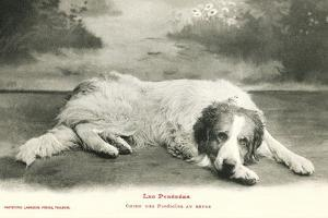 Resting Great Pyrenees
