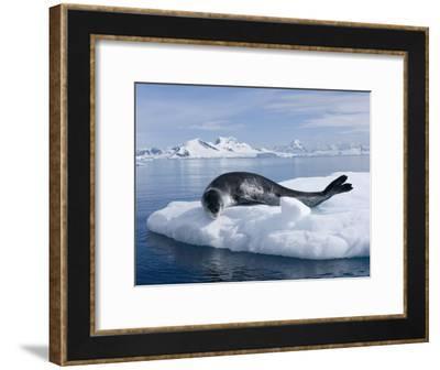 Resting Leopard Seal, Hydrurga Leptonyx, Off Danco Island-Joel Sartore-Framed Photographic Print