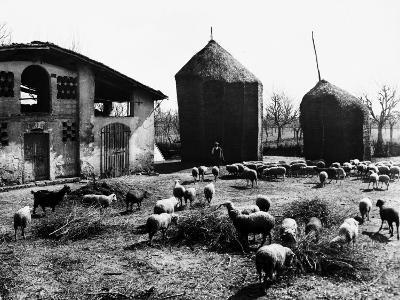 Restone (Figline Valdarno). Haystacks and Grazing Sheep--Photographic Print