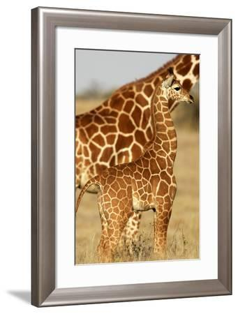 Reticulated Giraffe Baby--Framed Photographic Print