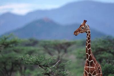 Reticulated Giraffe - Kenya-DLILLC-Photographic Print