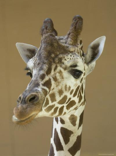 Reticulated Giraffe Makes a Slanted Grin at the Henry Doorly Zoo, Nebraska-Joel Sartore-Photographic Print