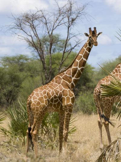 Reticulated Giraffe, Meru National Park, Kenya, East Africa, Africa-Pitamitz Sergio-Photographic Print