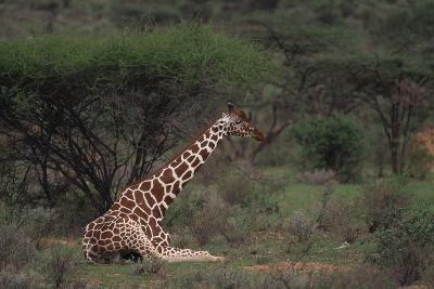 Reticulated Giraffe Resting-DLILLC-Photographic Print