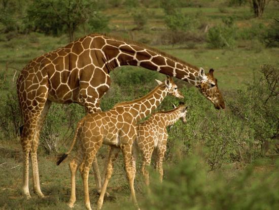 Reticulated Giraffe, Samburu, Kenya, East Africa, Africa-Robert Harding-Photographic Print