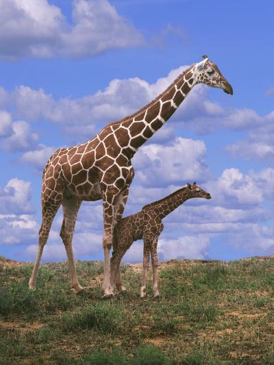Reticulated Giraffe with Young--Photographic Print