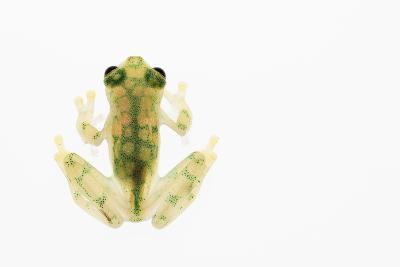 Reticulated Glass Frog (Hyalinobatrachium Valerioi) Captive-Edwin Giesbers-Photographic Print