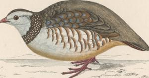 Barbary Partridge by Reverend Francis O. Morris