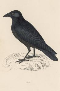 Carrion Crow by Reverend Francis O^ Morris