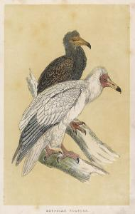 Egyptian Vulture by Reverend Francis O. Morris