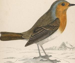 Erithacus Rubecula by Reverend Francis O. Morris