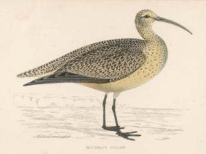 Eskimo Curlew by Reverend Francis O. Morris