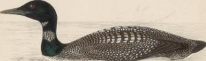 Great Northern Diver (Colymbus Glacialis) Also Known as the Immer- or Ember-Goose by Reverend Francis O. Morris