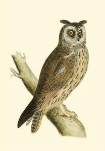 Long Eared Owl by Reverend Francis O^ Morris