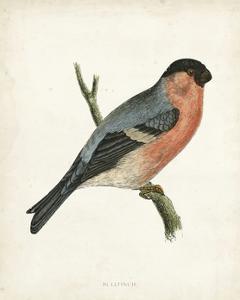 Morris Bullfinch by Reverend Francis O. Morris