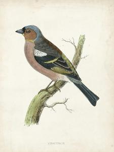 Morris Chaffinch by Reverend Francis O. Morris