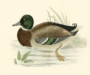 Morris Ducks I by Reverend Francis O^ Morris