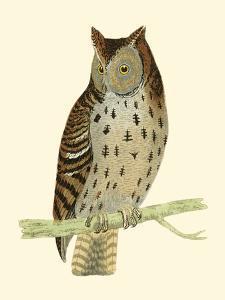 Morris Mottled Owl by Reverend Francis O. Morris
