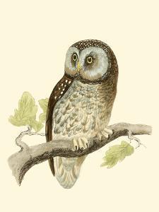 Morris Tengmalm's Owl by Reverend Francis O. Morris