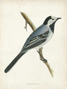 Morris White Wagtail by Reverend Francis O. Morris