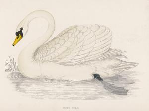 Mute Swan by Reverend Francis O. Morris