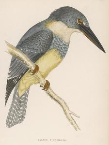 North American Belted Kingfisher by Reverend Francis O. Morris