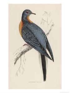 Passenger Pigeon by Reverend Francis O^ Morris
