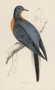 Passenger Pigeon by Reverend Francis O. Morris