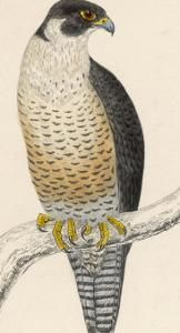 Peregrine Falcon by Reverend Francis O. Morris