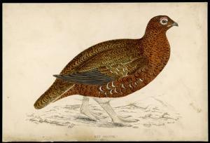 Red Grouse by Reverend Francis O. Morris
