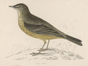 Rock Pipit by Reverend Francis O. Morris