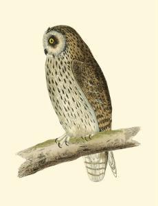 Short Eared Owl by Reverend Francis O^ Morris