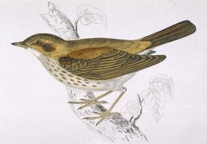 Song Thrush by Reverend Francis O. Morris