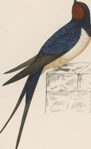 Swallow by Reverend Francis O. Morris